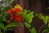 HIBISCUS (cune1) Tags: foresta forest fiori flowers alberi trees macro natura nature africa costadavorio lagunediassinie