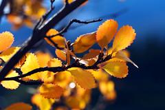 still beautiful (Indian summer) (ej - light spectrum) Tags: macro makro nature natur herbst autumn colorful farbig olympus omd em5markii mzuiko canada kanada september 2017 leaf blatt blätter sunlight sonnenlicht backlight m60mmf28macro outdoor
