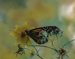 MonarchButterfly_SAF2442 (sara97) Tags: danausplexippus butterfly copyright©2017saraannefinke endangered insect missouri monarch monarchbutterfly outdoors photobysaraannefinke pollinator saintlouis towergrovepark