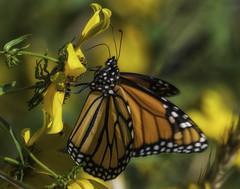 MonarchButterfly_SAF2023-2 (sara97) Tags: danausplexippus butterfly copyright©2017saraannefinke endangered insect missouri monarch monarchbutterfly photobysaraannefinke pollinator saintlouis
