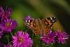 "Une ""Belle Dame"" au jardin... / A ""Painted Lady"" in the garden... (Pentax_clic) Tags: imgp3912 belle dame pentax kx septembre 2017 chrisantheme fleur robert warren vaudreuil quebec"