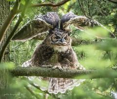 Great Horned Owl (Peter Bangayan) Tags: owl raptors wildlife wildlifephotography greathornedowl washington canon canon7d