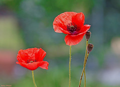 2 Poppies (Darea62) Tags: poppy flower nature seeds petals wildflowers