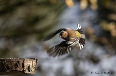 """Male Chaffinch (annjbee """"Birdie Lover"""") Tags: chaffinches birds nature wildlife derbyshire birdwatching birdsinflight woodlandbirds finches"""