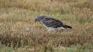 Male Northern Harrier (Circus cyaneus ) on Prey - Delta, BC