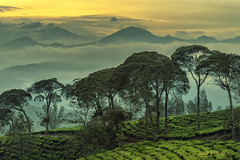 cukul pangalengan (sandilesmana28) Tags: tea plantation cukul pangalengan west java indonesia green sunrise fog