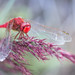 """Dragonfly (Isat"""") Tags: dragonfly libellule camargue"""