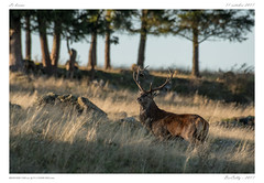 Le brame du Cerf - Cantal (BerColly) Tags: france auvergne cantal cerf deer stag rut brame nature bercolly google flickr