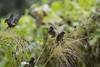 Maizal (seguicollar) Tags: pájaros maíz green ramas branch frutos aves gorriones comiendo virginiaseguí nikond7200 plantas animales vegetal naturaleza nature