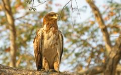 Tawny Eagle(Aquila rapax) (sharon.verkuilen) Tags: africa zambia southluangwa safari eagle aquilarapax nsefu bird