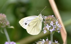 Butterfly and bokeh. (pstone646) Tags: butterfly white nature animal insect closeup bokeh macro plant fauna flora flower wildlife