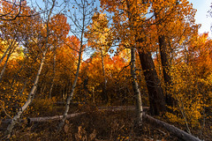 Autumn color at Tahoe (Middle aged Nikonite) Tags: fall autumn color leaves trees copper yellow aspen landscape nature outdoor nikon d750 california rustic forest
