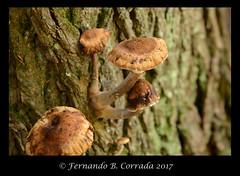 DSC_7300-copy_sm (fbc57) Tags: nikond800 sigma150f28exapomacro bristol bristolwetland vermont mushrooms fungi