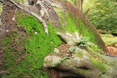 epp33 (Tony Wyatt Photography) Tags: eppingforest epping forest london woods trees beech mushrooms flyagaric alienmushroom puffball corporationoflondon autumn roots treeroots austin austinofengland austincar oldfolks