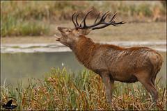 Ciervo berreando (Jose A Amado Hidalgo) Tags: ciervo cervuselaphus vitoria gasteiz araba alava salburua paisvasco euskadi euskalherria