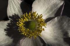 Beautiful Shadows (Laurie4593) Tags: anemone flower shadows shadowy blossom floral macro macroflower stamen sepals petals moody canonrebelt3i 50mm extensiontube blackbackground