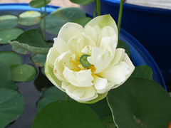 Nelumbo nucifera 'Huang Mu Dan' Lotus Klong15 003 (Klong15 Waterlily) Tags: huangmudan sacredlotus flower lotusflower thailotus nelumbo nucifera nelumbonucifera yellowlotus