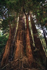 DSC_4823H_1 (Ramiro Marquez) Tags: redwood tree forest tall california sanfrancisco