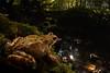 Grasfrosch ♀ (Rana temporaria temporaria) (Weinand Wildlife) Tags: frosch braunfrosch grasfrosch taufrosch märzfrosch bachfrosch pogge commonfrog europeancommonfrog europeancommonbrownfrog europeangrassfrog ranatemporaria lurch froschlurch anura anuran ranoidea ranidae rana lissamphibia amphib amphibie amphibium amphibian frog grenouille grenouillerousse herps herptile herpetology herpetologie herping brownfrog bruinekikker kikker ranaalpina ranamontana ranabermeja butsnudedefrø padde buttsnutefrosk frosk animal outdoor nature natur wildlife tier sigma15mm wideangle wideanglecloseup closeup macro makro deutschland germany ruhrgebiet wideanglemacro weitwinkel wald bach forest wood creek dark brown green animalplanet