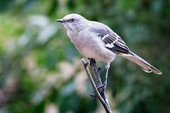 Mockingbird (Life of David) Tags: california camarillo canon5dmarkiv mimuspolyglottos northernmockingbird usa wildlife backyard beautiful beauty bird fierce nature pretty