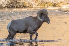 Bighorn Sheep ram crosses the South Platte River