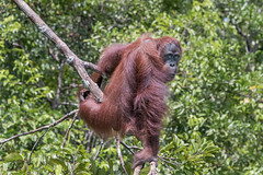 Striking a pose (tmeallen) Tags: orangutan borneanorangutan pongopygmaeus endangeredspecies strikingapose posing endofbranch forest sekonyerriver tanjungputingnationalpark borneoisland kalimantanprovince indonesia