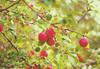 Apples in October (~DGH~) Tags: 2017 albertacanada edmonton october pentaxk50 apples autumn fall fruittree pending rainyday ~dgh~