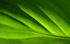 Canna Wallpaper (mary13phary) Tags: 1280x800 1440x900 1680x1050 1610 1920x1200 canna cannalily cannaceae creativecommons abstract abstractnature background closeup colors design desktop green leafs lines macro minimalist pattern plantae plants tropical wallpaper widescreen