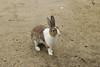 Feral rabbit (Oryctolagus cuniculus) (SteveInLeighton's Photos) Tags: september 2017 japan bunny feral rabbit mammals okunoshima rabbitisland