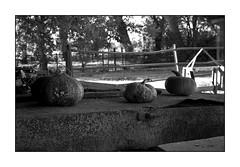 plasticità ;/) aka ... zucche vuote (schyter) Tags: фэд2 fed 2c jupiter8 silver 1958 lens film pellicola kodak tmax400 320iso рапри э201 rapri e201 spotmeter extintion development adox adonal 150 20 °c homemade scanned epson v600 analogica analogic bw bn bianconero blackwithe 135 35mm homemadescanned allaperto lodigiano lodi analogicait monocromo surreale bianco nero sovietcamera rangefinder zucche cascina rurale belvignate basiasco