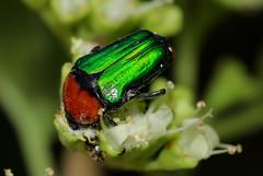 Leucocelis amethystina (zimbart) Tags: africa mozambique gorongosanationalpark fauna arthropoda insects specinsect coleoptera beetles scarabaeidae leucocelis leucocelisamethystina