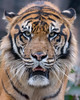 Khunde ♂ - My Goodness!! (Belteshazzar (AKA Harimau Kayu)) Tags: khunde tiger zoo cat asian asiancat bigcats sumatran pantheratigrissumatrae animal sumatratiger tigredesumatra суматранскийтигр tygrsumaterský tygryssumatrzański sumatraansetijger szumátraitigris uenozoologicalgardens tigre тигр tygr tijger tigris fuengirola spain ueno 수마트라호랑이 苏门答腊虎 虎 tokyo toodarnhot hổsumatra sumatrakaplanı เสือโคร่งสุมาตรา सुमात्रनवाघ სუმატრისვეფხვი טיגריססומטרה harimausumatera ببرسوماترایی predetor beast carnivorous flesheating tiikeri sumatrantiikeri the spaniard wonderful rembrandt rembrandtlighting the4thofjuly independenceday bathing swimming nobeastsofiercebut flehmen flehmenresponse king kingoftheenclosure feline mouser grimalkin mammal fierce predatory predator fierceanimal japan bathingtiger flickrbigcats higashiyamazoologicalgardens yagiyamazoologicalgardens sendai internationaltigersday