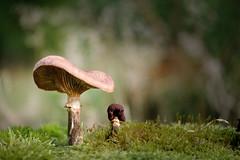 Paddestoel 2585 (Bram Meijer) Tags: kootwijkerzand kootwijk paddestoelen mushroom paddestoel pilz champignon herfst autumn automne herbst