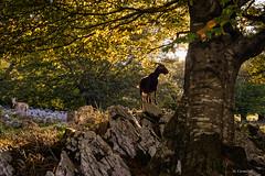 ¡Sácame bien! (Carpetovetón) Tags: cabra cabras haya hayedo hayal hojas paisaje piedras rocas contraluz contraste colores otoño otoñal nikond610 nikon50f18 montañas