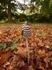 shroom in the litter (Scozmo's Photery - On my phone weekdays) Tags: mushrooms fungii westonbirt arboretum phonography autumn