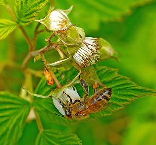 A honey bee seeking nectar on a wild Raspberry.
