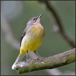 Grey Wagtail (image 2 of 3)