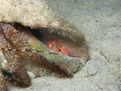 IMG_9624 (adrienweckel) Tags: adrienweckel crabeporcelainecommensale crutacés porcellanasayana