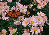 Monarch on Showy Stonecrop (vmi63) Tags: flower capturenx2 nikondx35mmf18 nikond7100 pennsylvania kennettsquare longwoodgardens