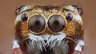 Jumping spider portrait
