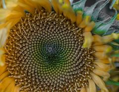 Sun Flower. (Omygodtom) Tags: yellow yahoo 7dwf sunflower seed macro bokeh tamron90mm tamron detail dof d7100 digital garden outside green usgs urbunnature