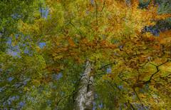 Herbstbaum (Elsbeth7) Tags: baum herbst mehrfachbelichtung
