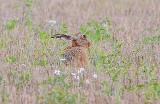 JWL6339  Brown Hare..