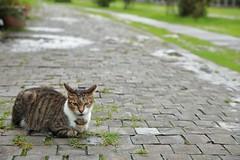 The Cat Village Boss (superzookeeper) Tags: formosa 5dmk4 5dmkiv canoneos5dmarkiv ef2470mmf28liiusm eos digital taiwan tw cat catsofflickr catsoftaiwan catsofhoutong catvillage houtong catboss boss bokeh free freedom street