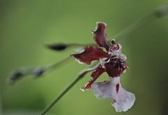 Oncidium Opened (ACEZandEIGHTZ) Tags: oncidium orchid nikon d3200 bokeh sharrybaby closeup dof depthoffield bokehlicious