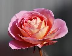 Last one (LuckyMeyer) Tags: rose blume blüte garden makro summer rosa pink apricot water rain drop flower fleur sun