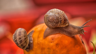 Persimmon & Garden Snails