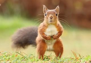 Red squirrel / explored
