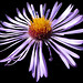 New England Aster - Astre de Nouvelle-Angleterre