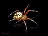 A Welcome Guest (zxgirl) Tags: 60mmomzd alexandria arachnida arkendale arthropods em5ii onblack onwhite twinlite va animals autumn macro nature orbweaver spiders bug bugs spider animal animalia arthropod arthropoda chelicerate chelicerates chelicerata arachnid arachnids araneae araneomorphae entelegynes orbweavers araneidae araneus araneusmarmoreus marbledorbweaver taxonomy:binomial=araneusmarmoreus pa070147 pa070149